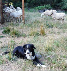 sheep1 crop