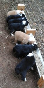 7-pups-at-feeder